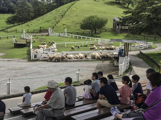 2017年8月23日,日本群马县的牧场,游客观看来自新西兰的牧羊表演。